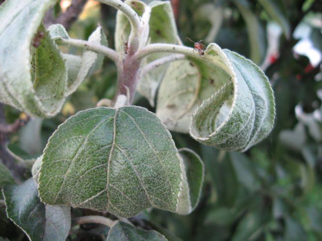 Эффективным народным средством для защиты яблонь от тли и других вредителей является чесночная настойка.