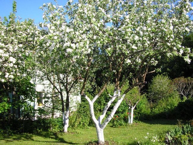 Побелка стволов деревьев ранней весной значительно уменьшает численность паразитов и избавляет дерево от спор грибов, зимующих в коре.