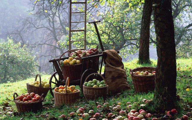 Если за фруктовыми деревьями не ухаживать, то заболевания и насекомые-вредители могут повредить им и даже привести к гибели.