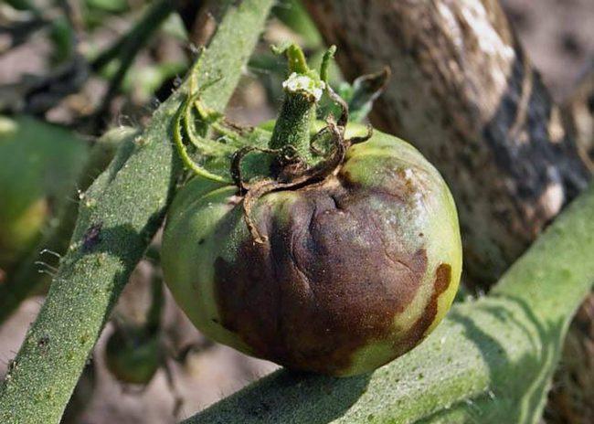 Опрыскивания томатов для профилактики и борьбы с фитофторой рекомендуется проводить в сухую погоду в первой половине дня