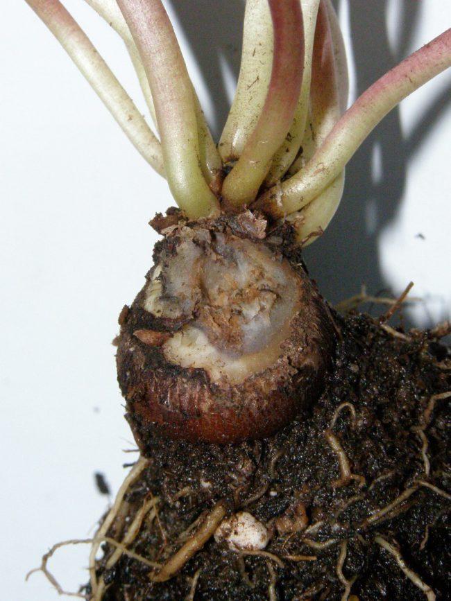 Фитоспорин-М действует системно, распределяясь по системе сосудов пораженного растения