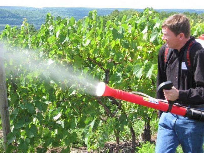 Если фунгицидное опрыскивание винограда производится незадолго до срезания зрелых гроздей, процедура улучшает сохранность урожая