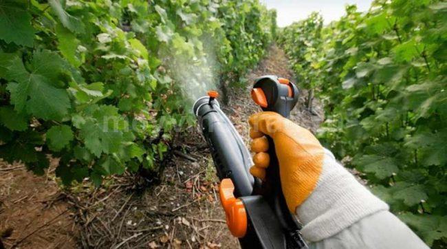 Препарат предотвращает и лечит такие характерные для виноградной лозы заболевания, как мучнистая роса, черная и серая гниль, эскориоз, краснуха