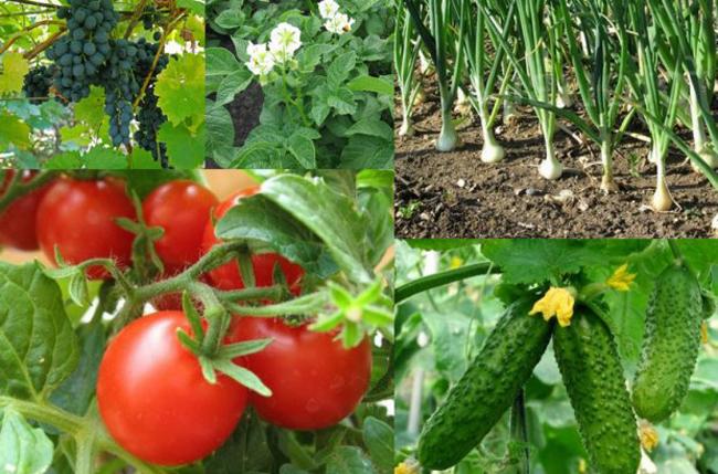 Томаты опрыскивают за 10 дней до сбора урожая, огурцы – за 2 дня, тепличные помидоры – за 5 дней