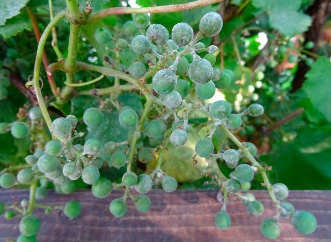 Замечено что после проведенного распыления патогены на листьях винограда гибнут в пределах 1 часа