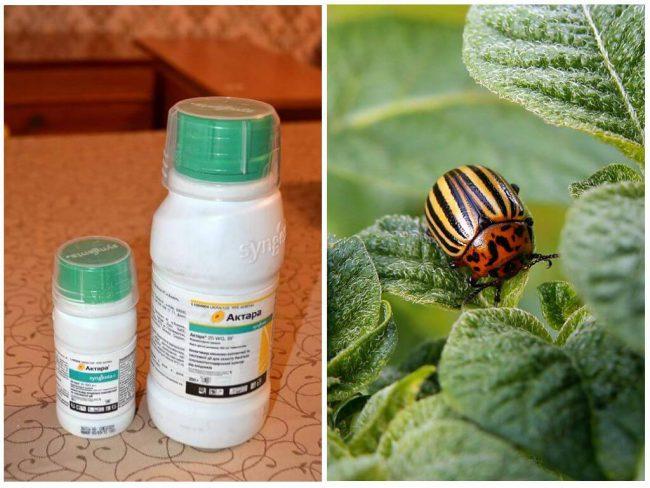 Для борьбы с колорадскими жуками на картофеле нужно взять около 200 мл средства, после чего вредители исчезают спустя две недели