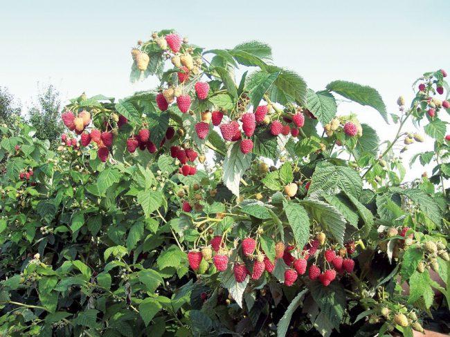 Испорченные после зимы части кустов садовод должен удалить до первой здоровой почки.