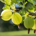 Getting rid of mildew on gooseberries?