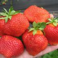 Strawberry Processing spring from pests and diseases – when to hold and what to spray?