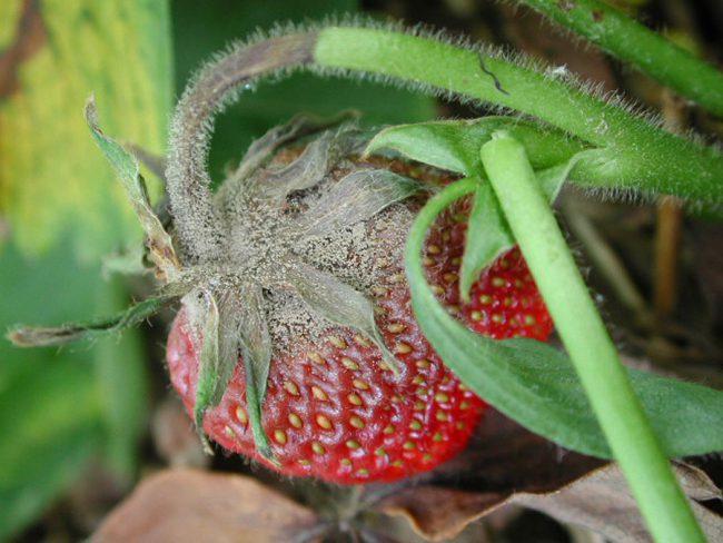 Весенняя обработка клубники – это необходимая мера для защиты от возникновения непредвиденных обстоятельств при дальнейшем её выращивании