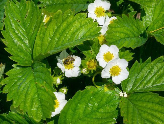 Второе опрыскивание производится непосредственно перед цветением – обычно это конец апреля или начало мая в более южных регионах