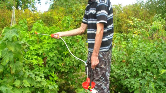 Не менее популярны среди садоводов обработки смородины медным купоросом