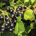 Processing currant spring from pests and diseases