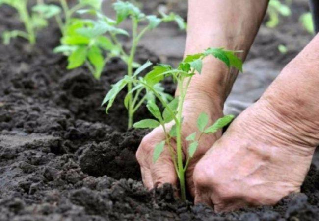 Вносят удобрение в сами лунки, что не повредит листву