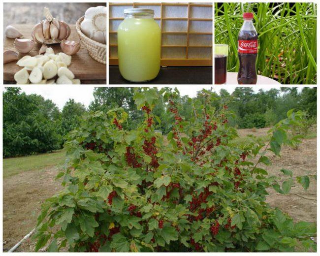 Измельчить килограмм зеленого чеснока или лука и залить 10-литровым ведром воды