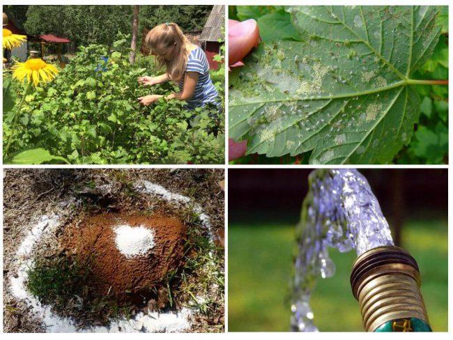 Некоторые садоводы предпочитают удалять вредителей механическим способом