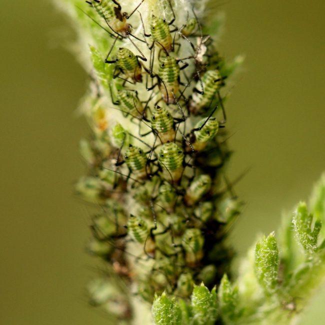 Из-за маленького размера насекомого и его зеленой расцветки тлю садоводы часто замечают уже тогда, когда колония успела разрастись достаточно сильно