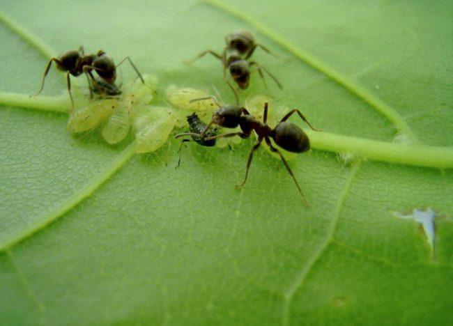 Тля выделяет падь – особое вещество, которое насекомые производят из сока растений, которое очень привлекает муравьёв