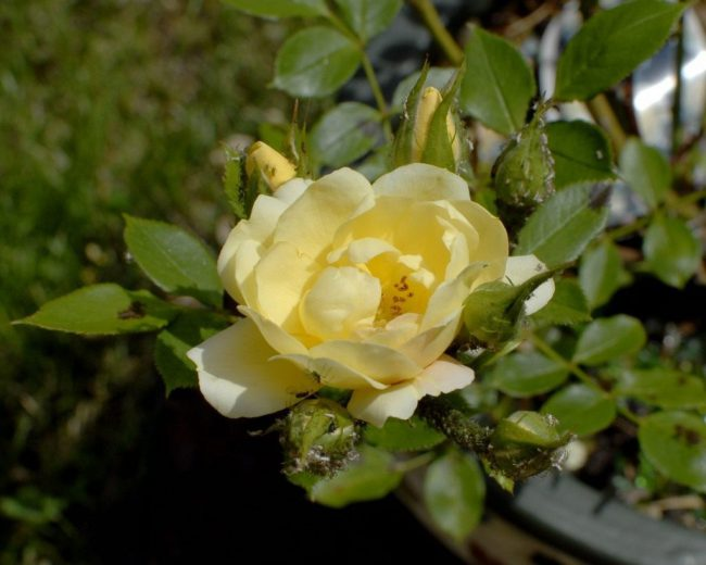 При первых появлениях вредителей избавиться от тли на розах можно механическим способом