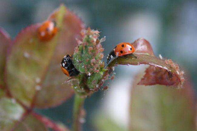 С началом вегетационного периода садоводы рекомендуют подкармливать растения органическими удобрениями или золой