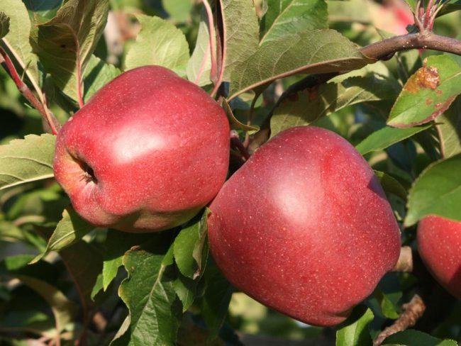 Чтобы спасти яблоню, садоводы используют биопрепараты, химические инсектициды и народные средства