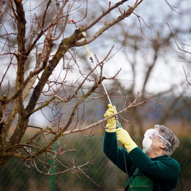 Обработку деревьев против тли рекомендуется проводить ранней весной, в начале распускания почек