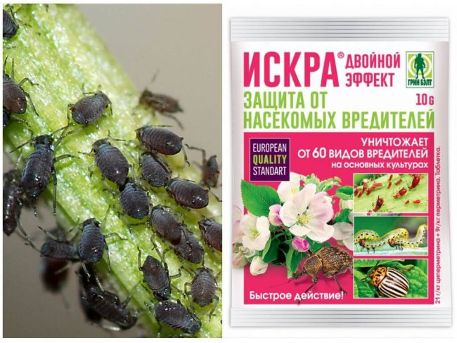 Инсектицид Искра не только помогает избавиться от тли, но и считается хорошей калийной подкормкой для растений