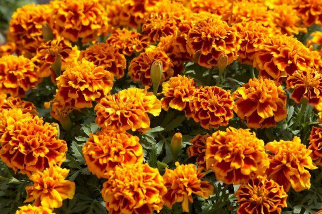 Настоем бархатцев следует обработать растения несколько раз и такие опрыскивания повторять еженедельно