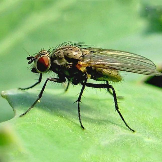 Как вредитель капустная муха проявляет себя в стадии личинки, этакого капустного опарыша, тогда как взрослое насекомое питается нектаром цветов, являясь опылителем крестоцветных растений, то есть в каком-то смысле полезным насекомым