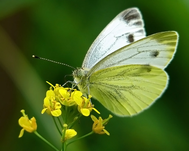 Капустная белянка – это крупная бабочка, размах крыльев у неё достигает 60 мм