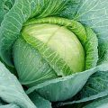 The process of cabbage pests: folk remedies and chemicals