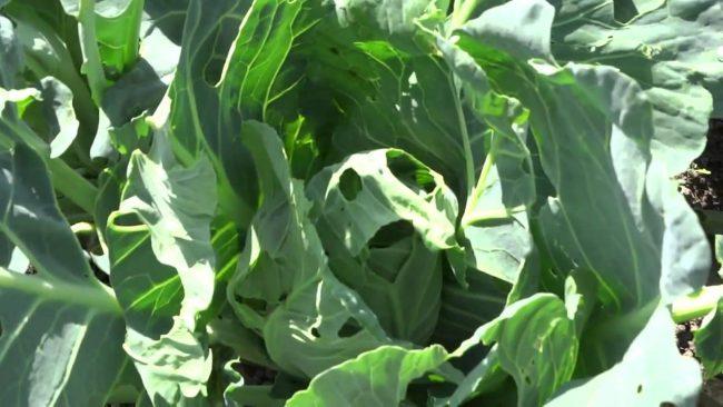 Рекомендуем также обработать капусту от вредителей жидкостью, получаемой после варки листьев табака