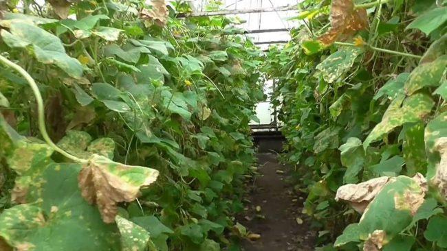 Паутинный клещ также способен спровоцировать развитие серой гнили, поражающей всю надземную часть растения и неизбежно ведущей к его гибели