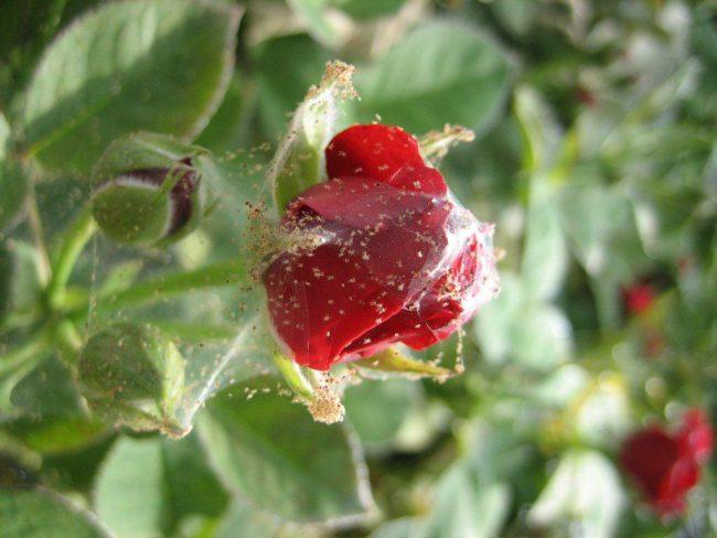 Растение вместе с использованным средством нужно накрыть полиэтиленовым пакетом и продержать в течение нескольких часов