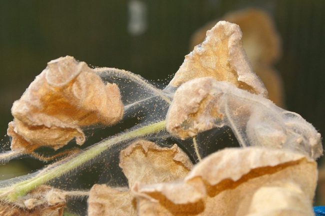Достаточно эффективным в борьбе с паутинным клещом является лекарственный одуванчик