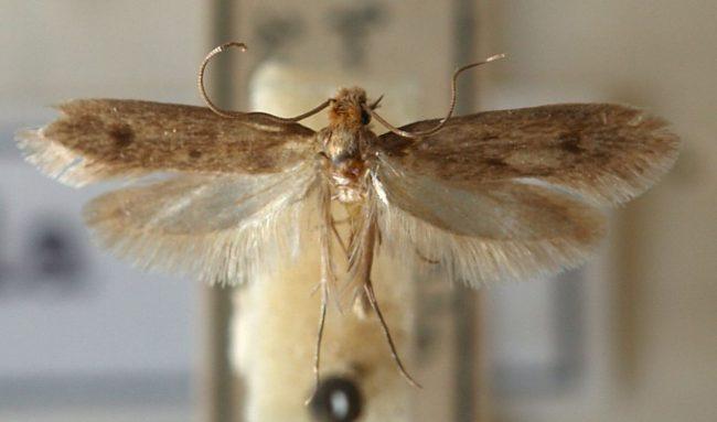 Моль на кухне – это не только летающие мотыльки, но и их куколки, личинки и яйца