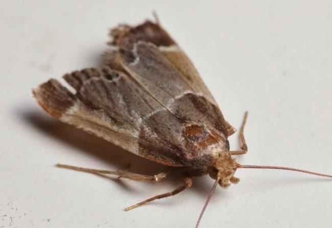 Феромонные ловушки помогут предотвратить повторное появление насекомых