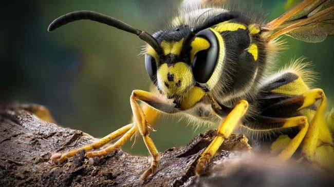 Укус осы опасен тем, что может вызвать резкую аллергическую реакцию, даже с летальным исходом. Причем человек может и не знать, что у него аллергия на яд осы
