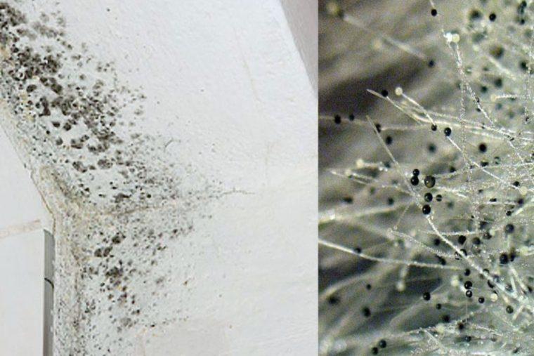 Плесень на стене и под микроскопом.
